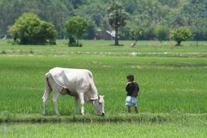 Boy & Rice Field