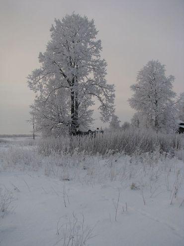 Tilia Cordata Winter in Russia